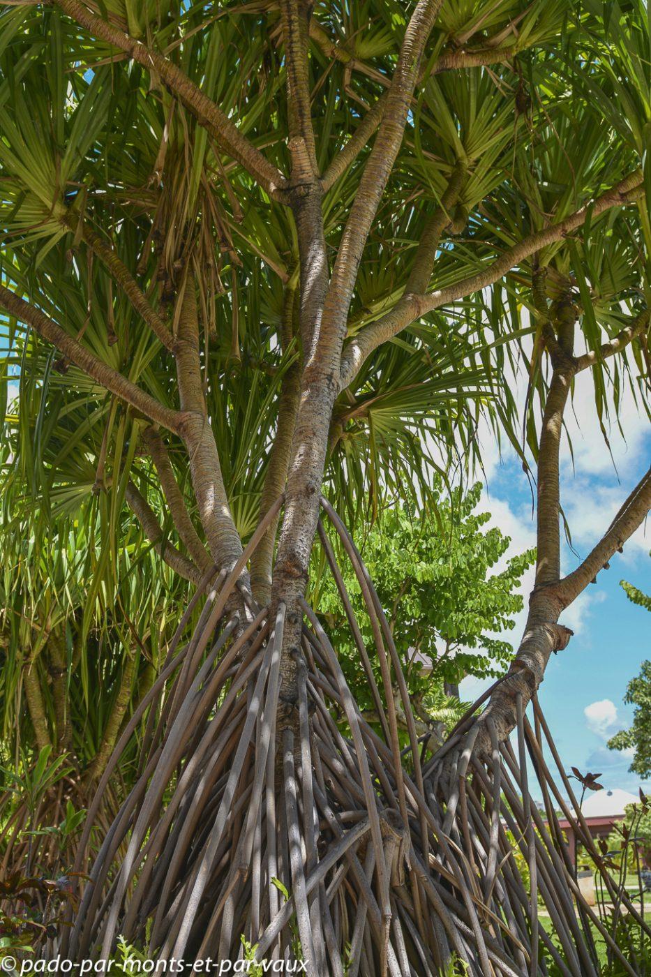 Palmier de Hawaii