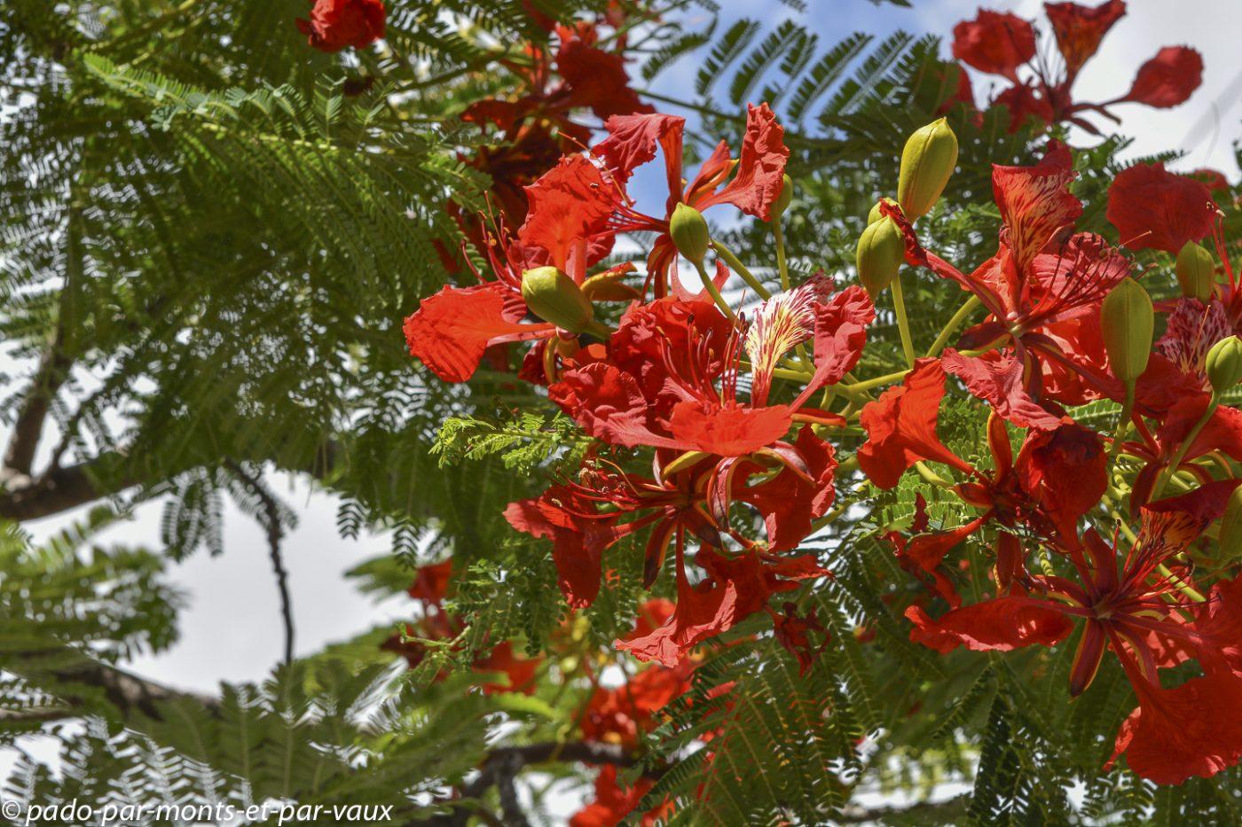 Oahu - North Shore - Flamboyant