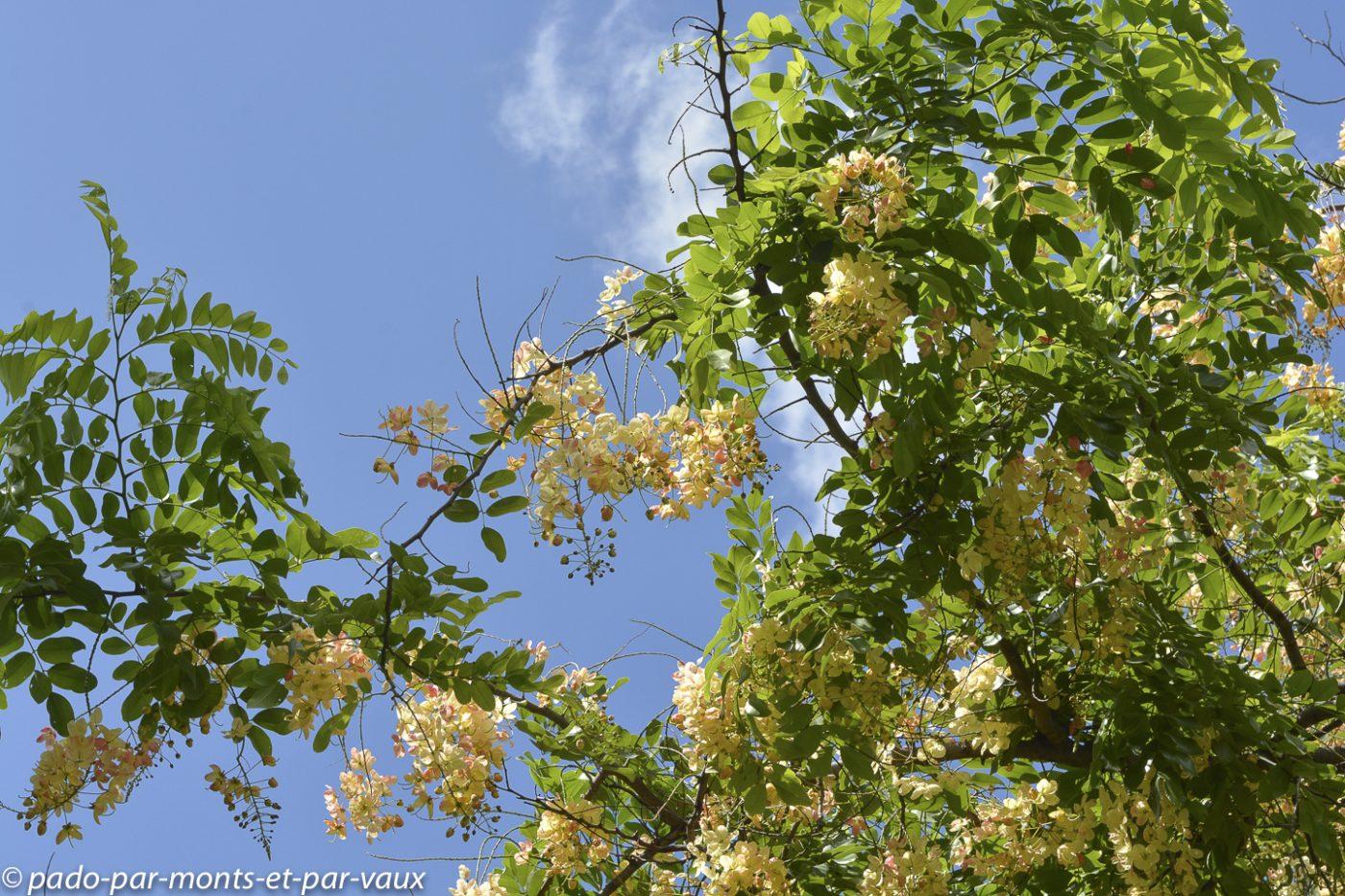 Cassia nealiae