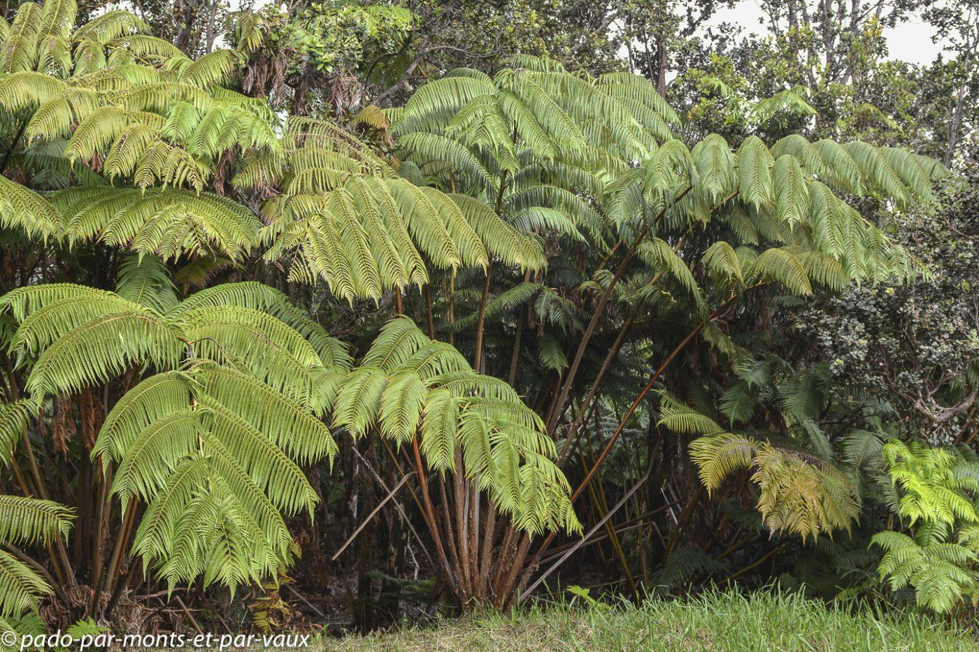 Big Island - Paniolo cottage - Fougères arborescentes