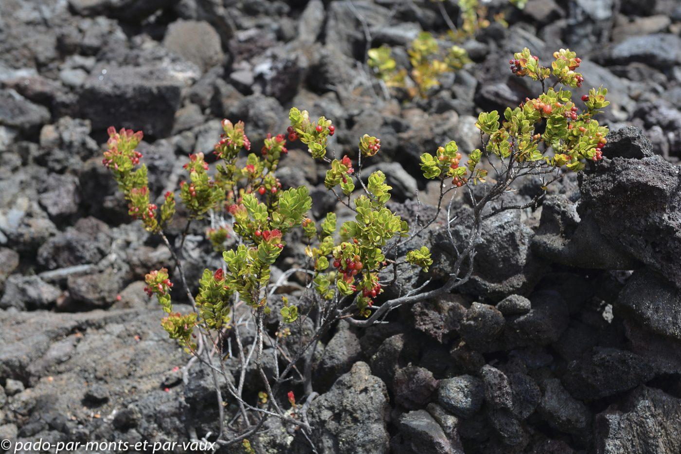 Big Island - Kilauea Iki trail - Vaccinium reticulatum