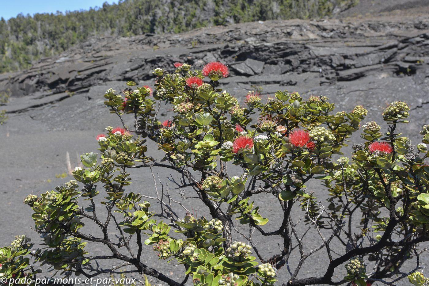 Big Island - Kilauea Iki trail - Metrosideros polymorpha