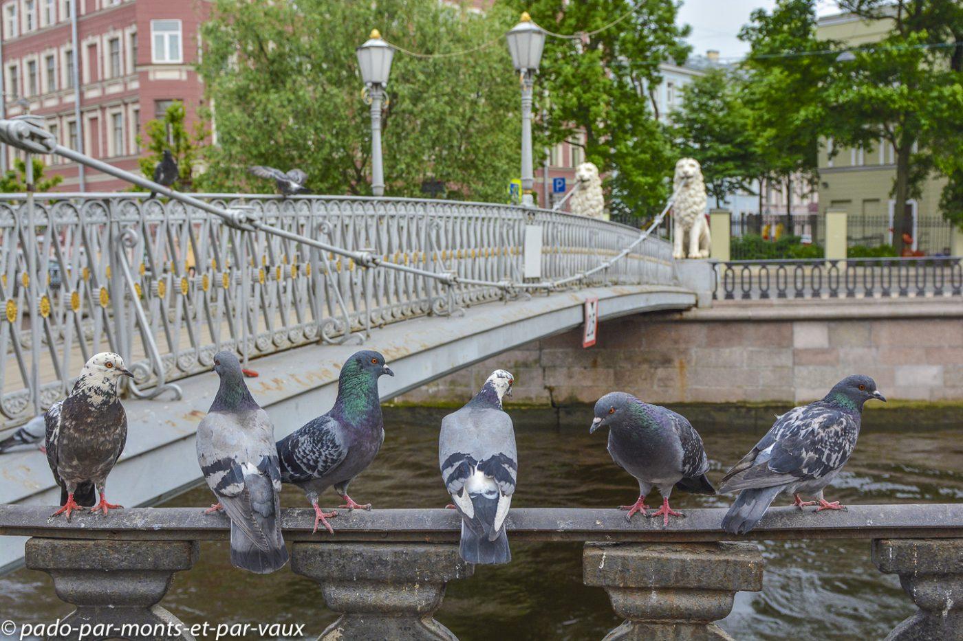 2015 - St Pétersbourg - pigeons biset