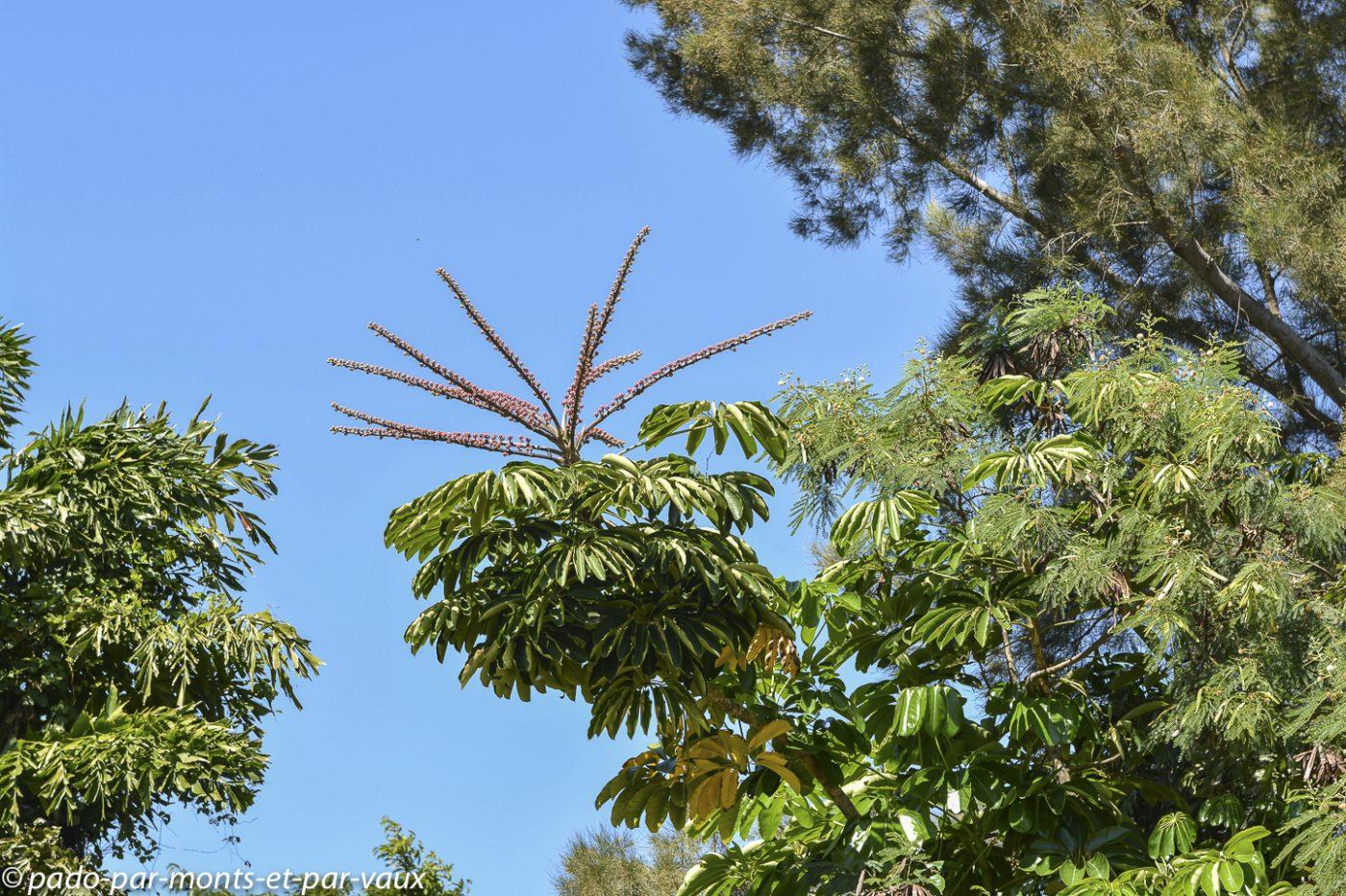 Big Island -  arbre ombrelle