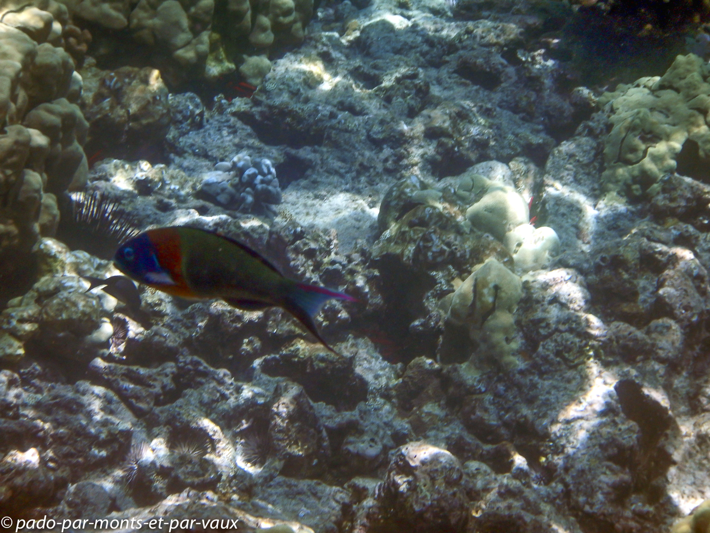 Big Island - Kona snorkeling - Girelle paon à selle