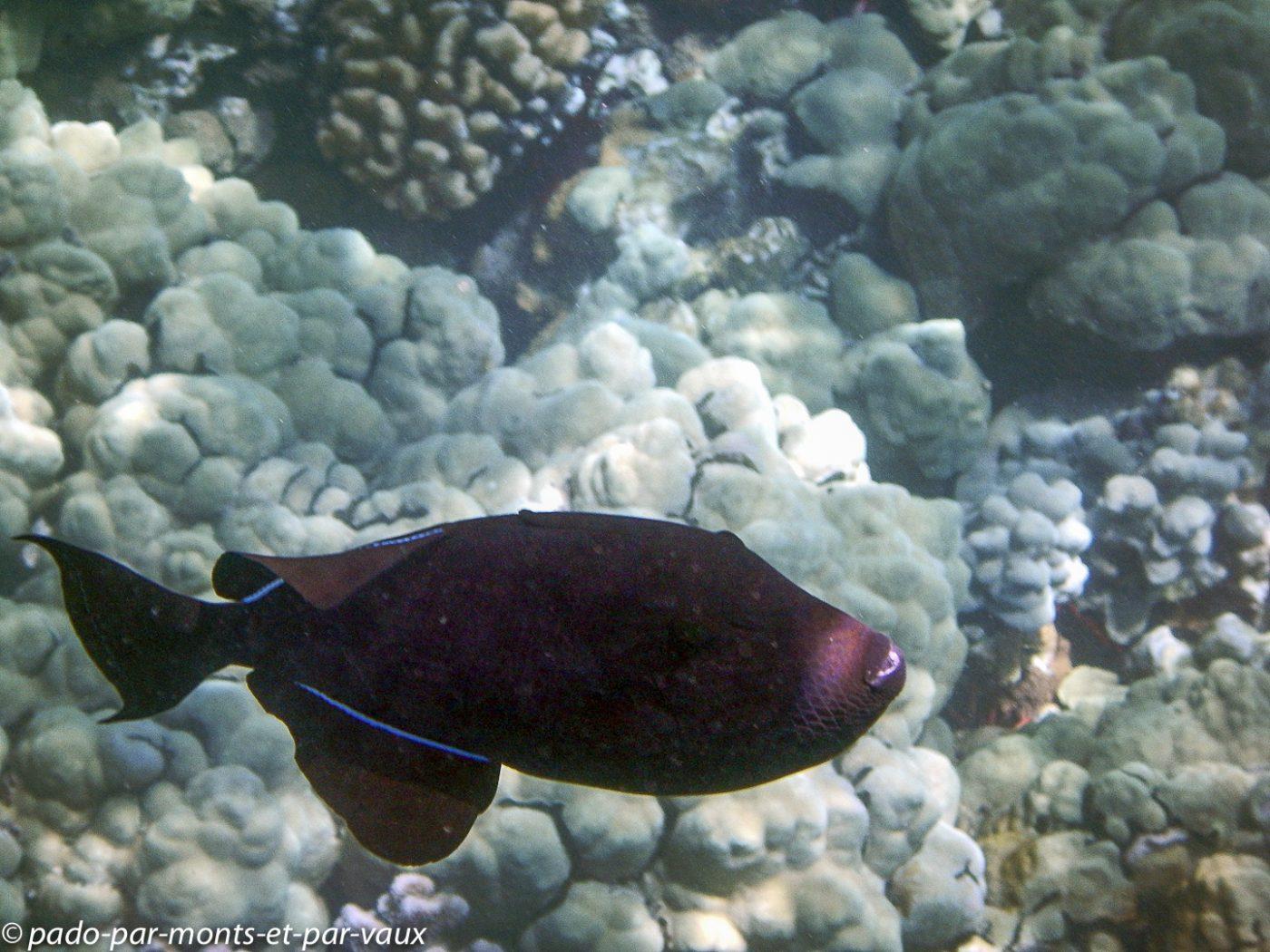 Big Island - Kona snorkeling - Baliste