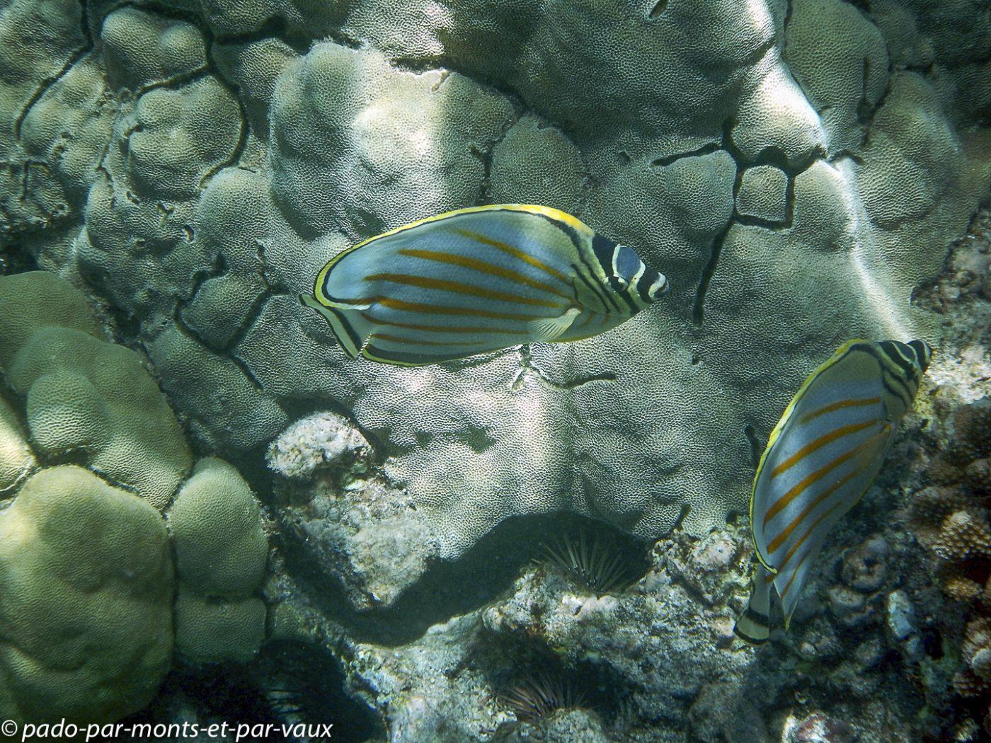 Big Island - Kona snorkeling- poisson papillon orné
