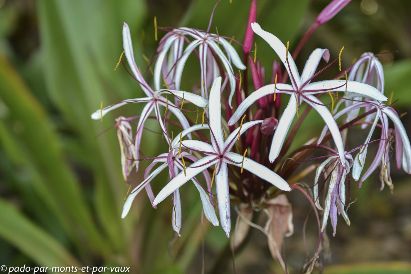 Hawaii tropical botanical garden - Crinum amabile