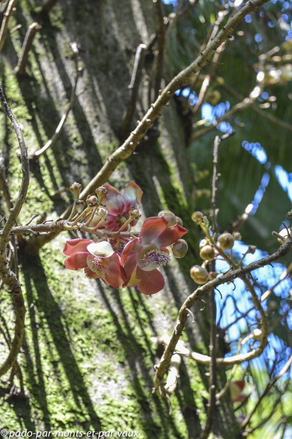 Hawaii tropical botanical garden  - Boulet de canon