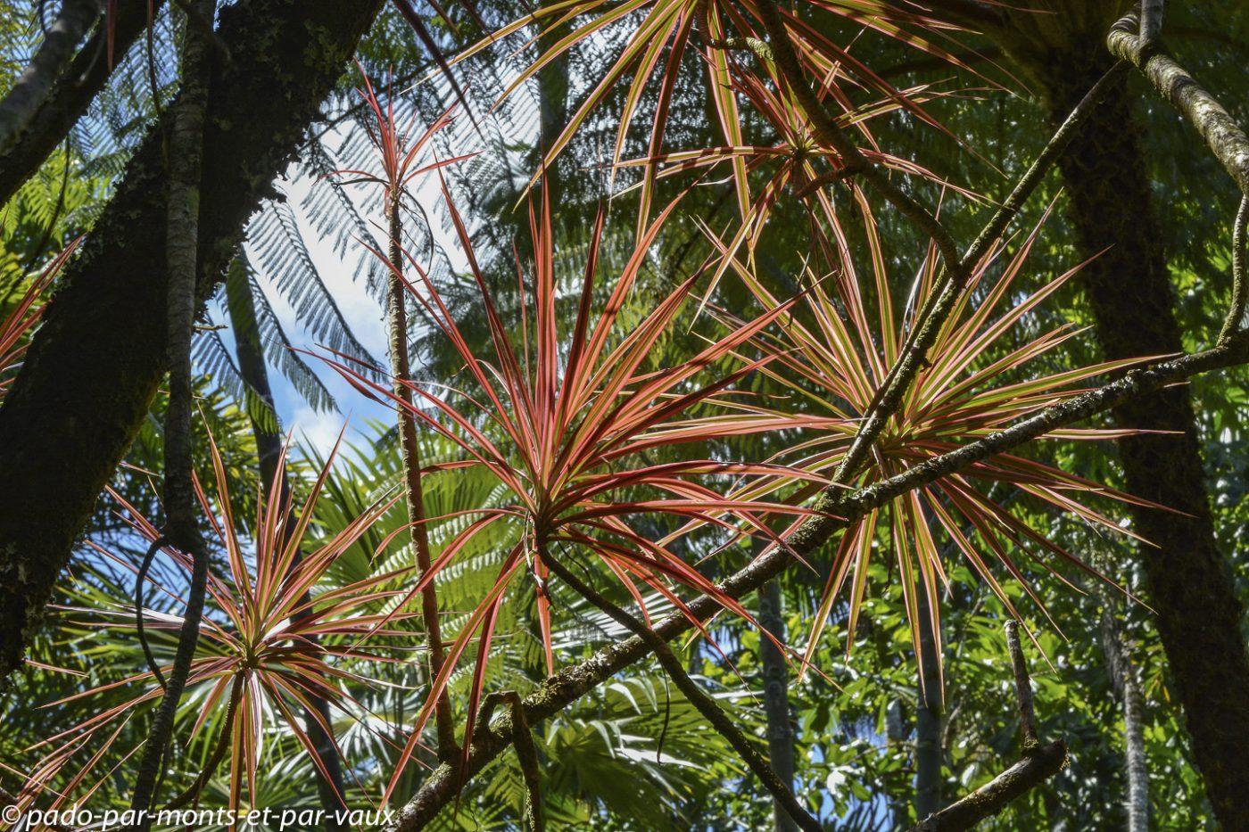 Hawaii tropical botanical garden - Dragonnier de Madagascar
