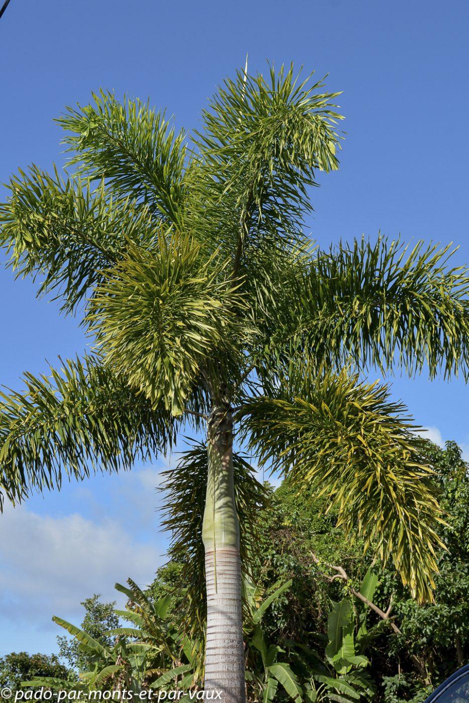 Palmier de la reine