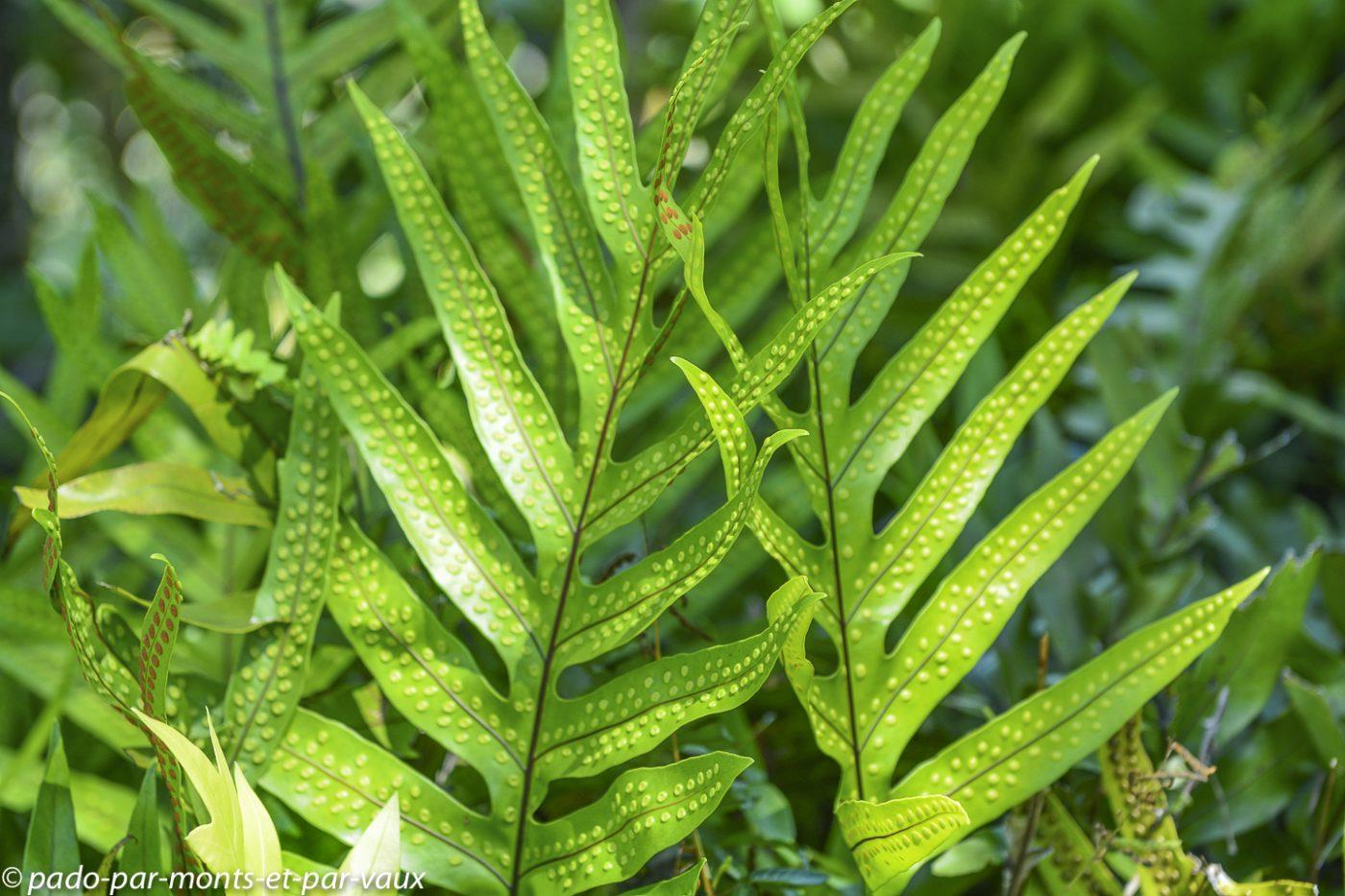 Big Island -   Phymatosorus scolopendria