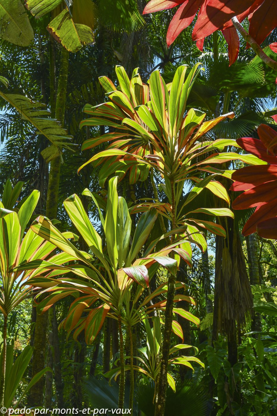 Hawaii tropical botanical garden - Cordyline fructicosa