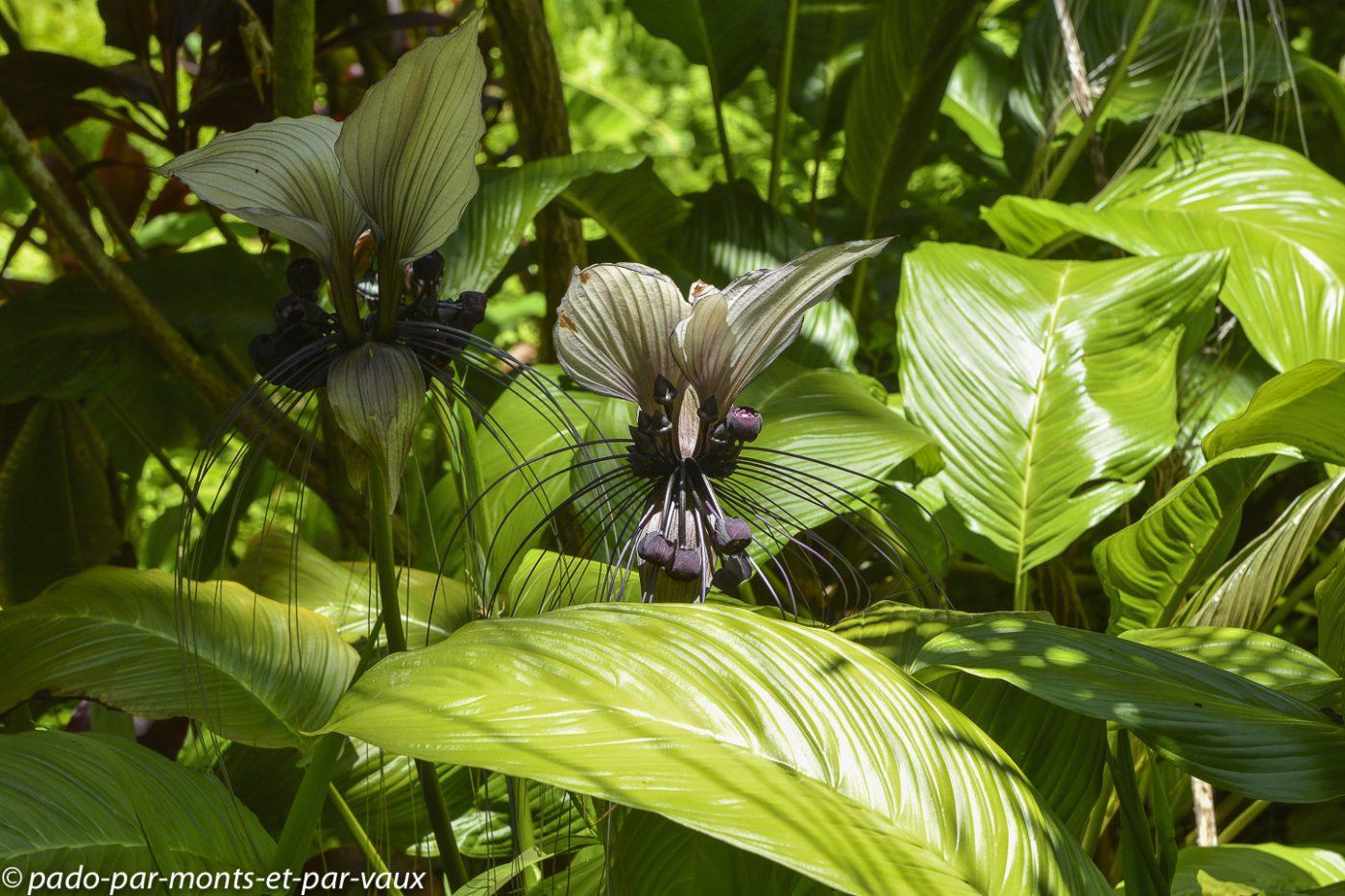 Hawaii tropical botanical garden  -  Plante chauve-souris