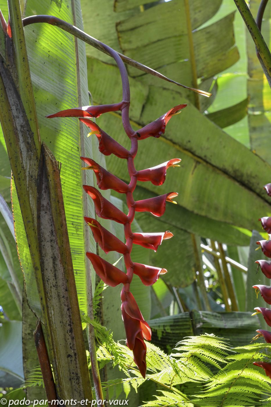 Hawaii tropical botanical garden  - Heliconia