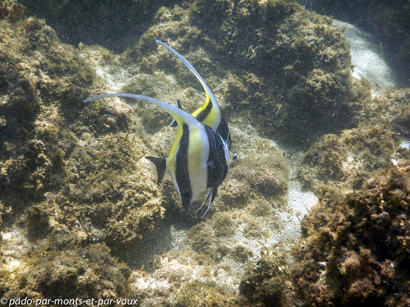 Kauai - Salt pond beach park - Zancles cornus