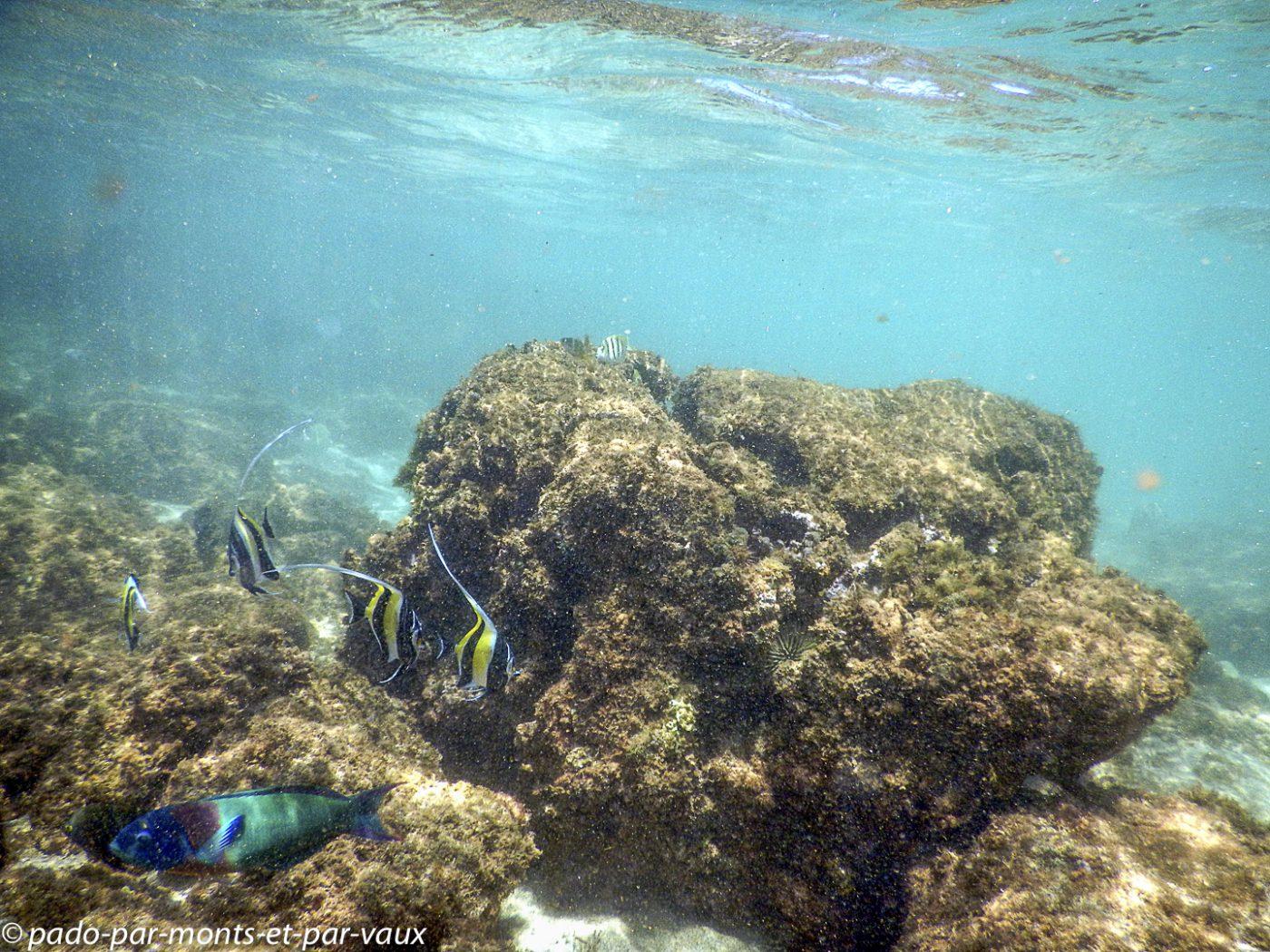 Kauai - Salt pond beach park - Zancles cornus et girelle