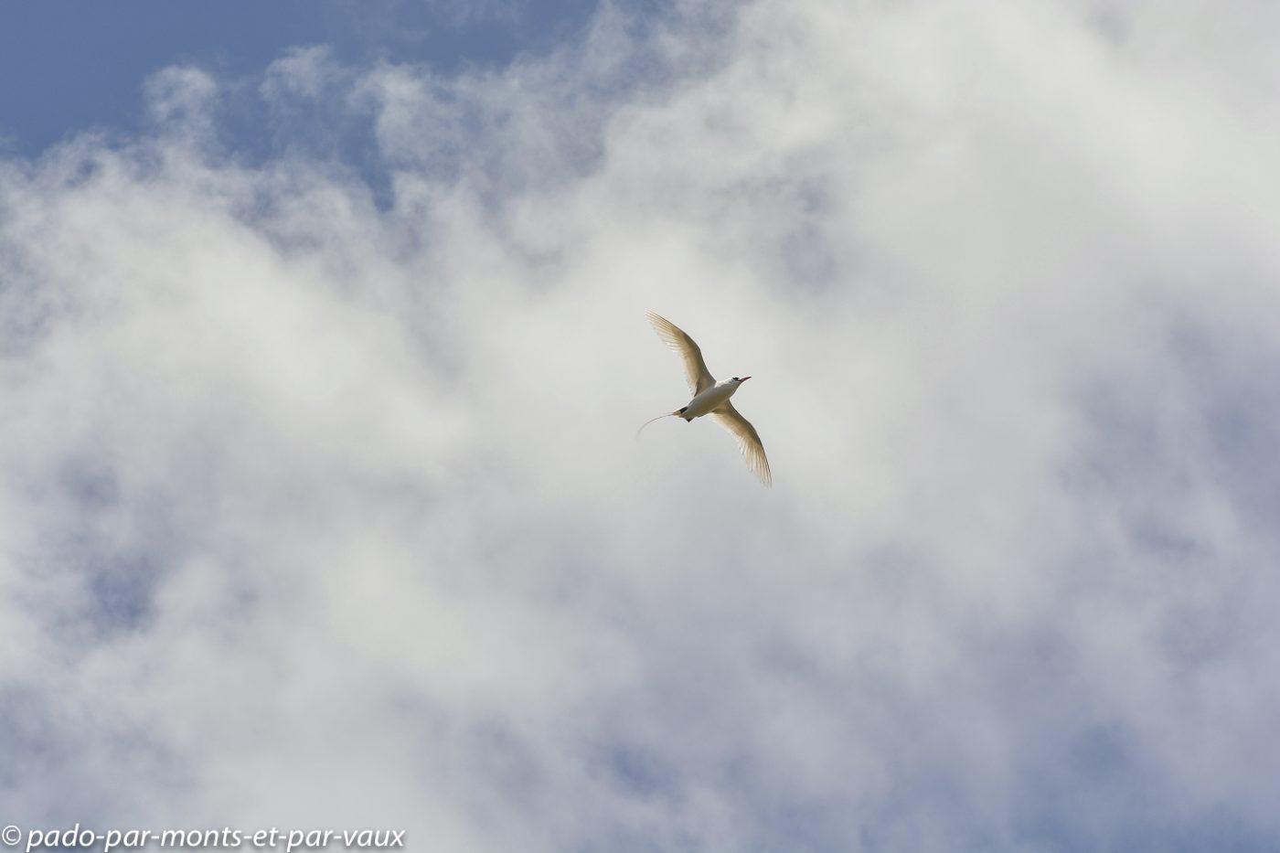 Kauai  - Kilauea point - Phaéton à brins blancs