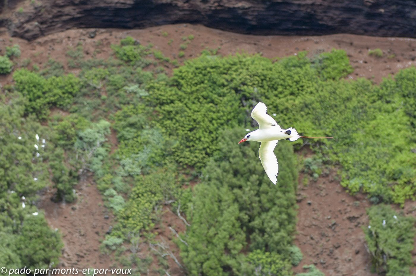 Kauai  - Kilauea point - Phaéton à brins rouges