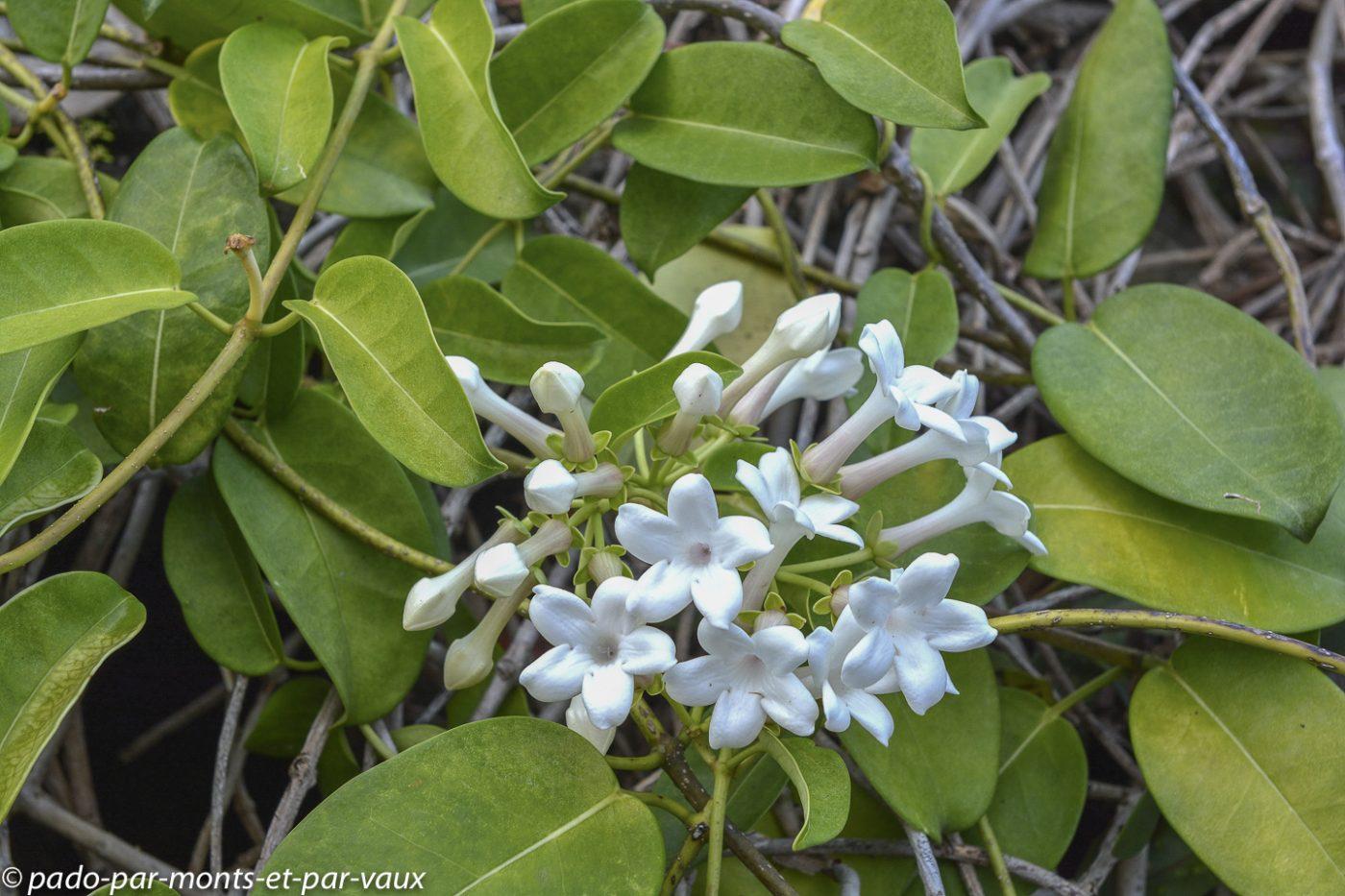 Kauai - Limahuli garden - jasmin