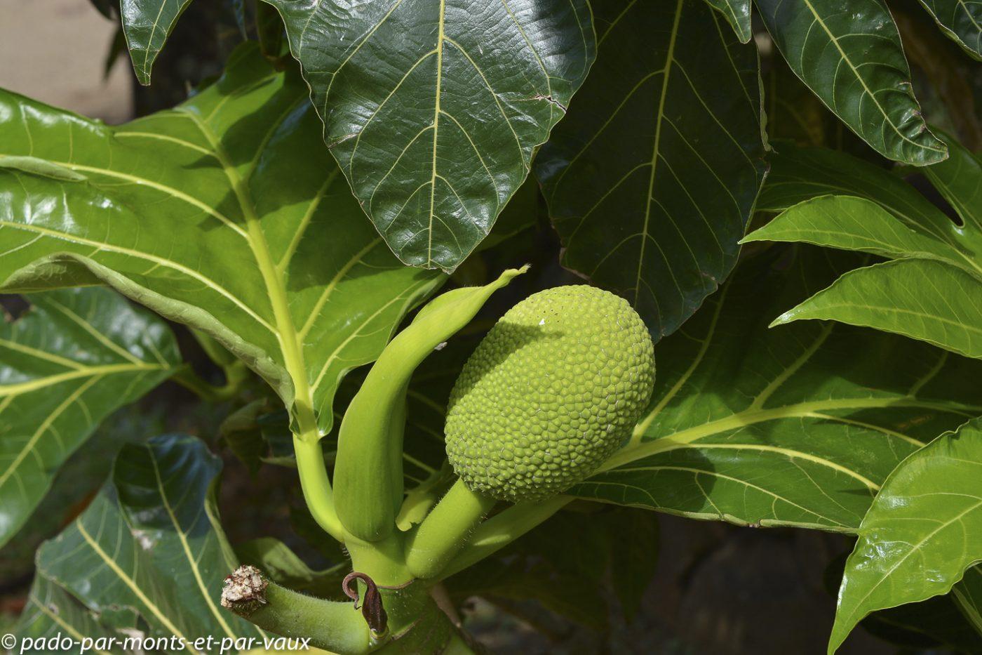 Limahuli garden - Kauai - arbre à pain