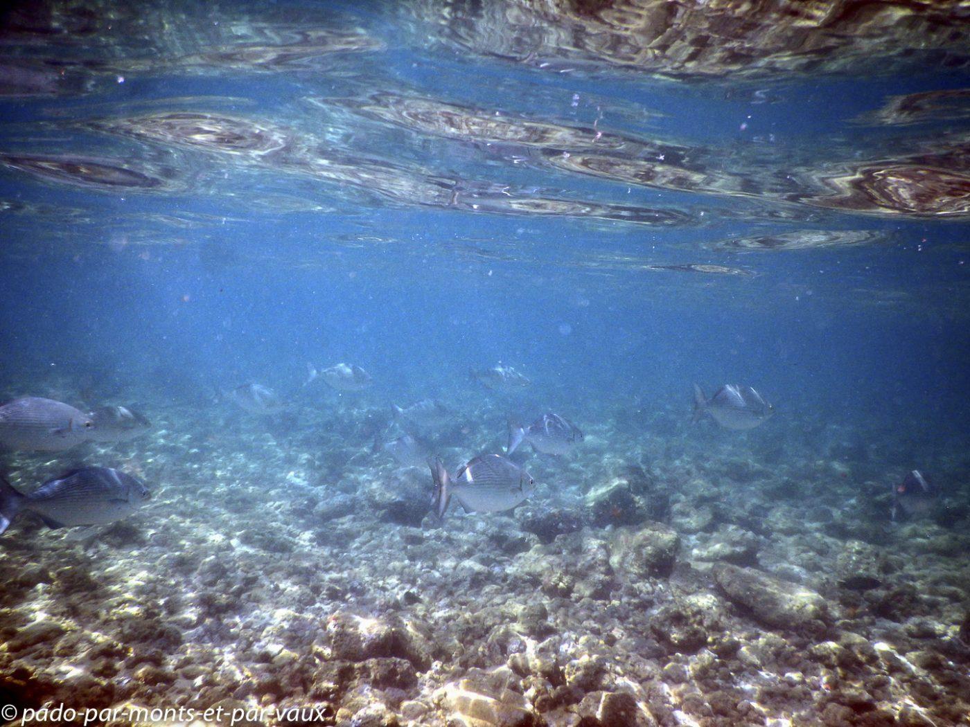 Kauai - Poipu beach park - Grey chub