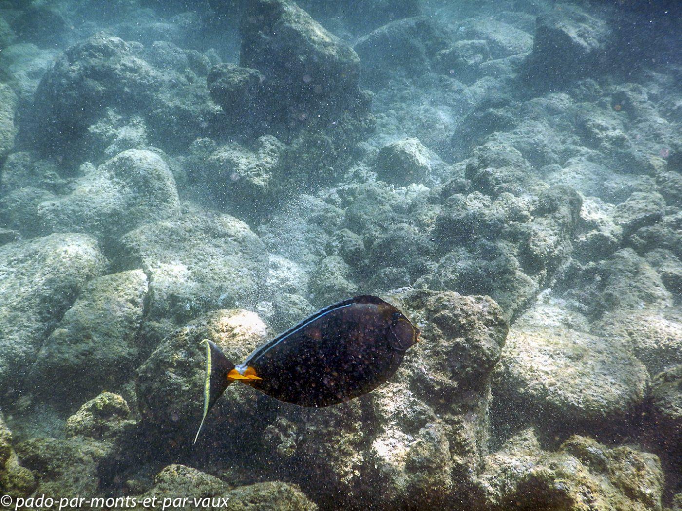 Kauai - Poipu beach park - Nason à éperons orange