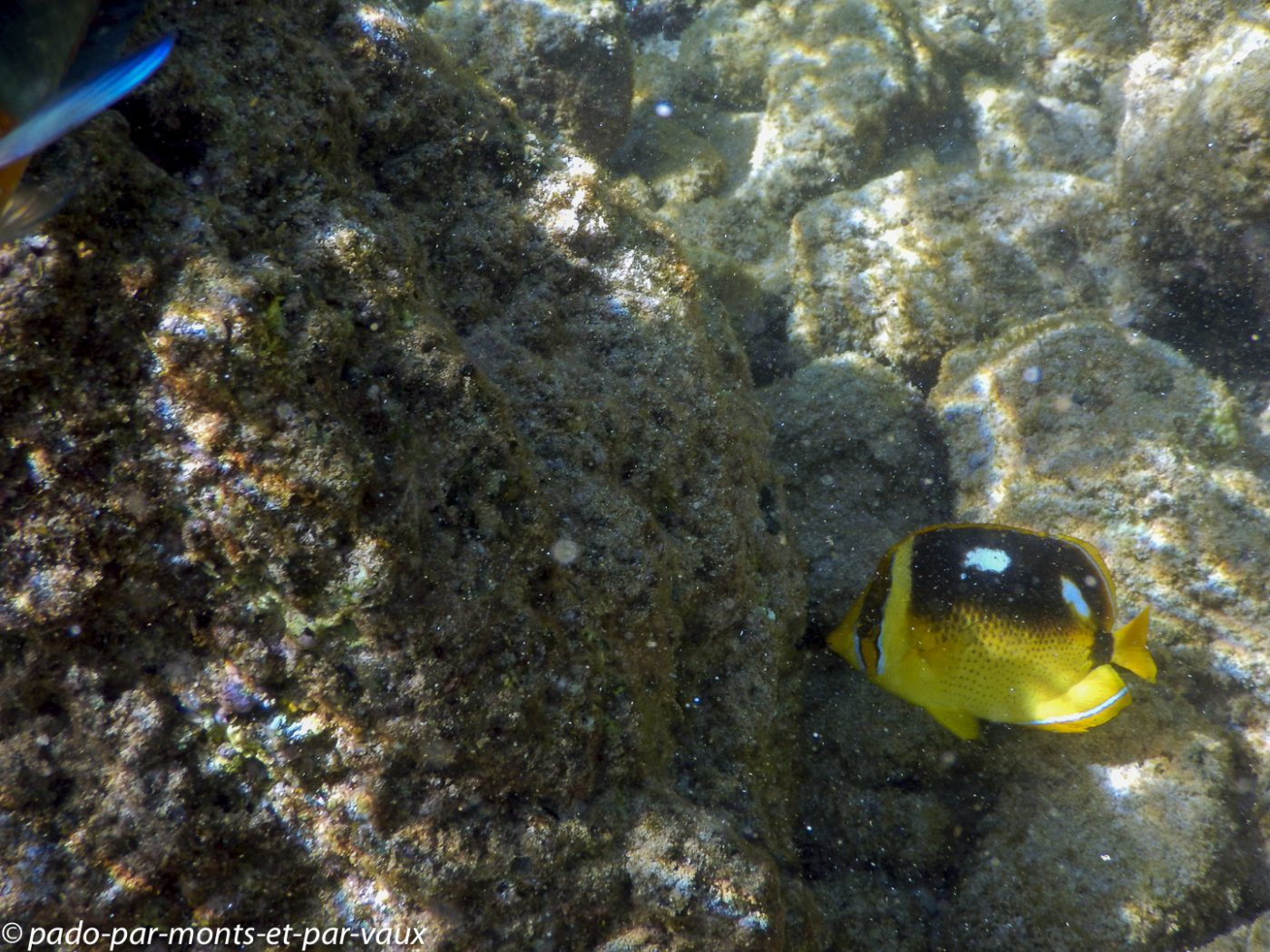 Kauai - Poipu beach park - Chétodon à quatre tâches