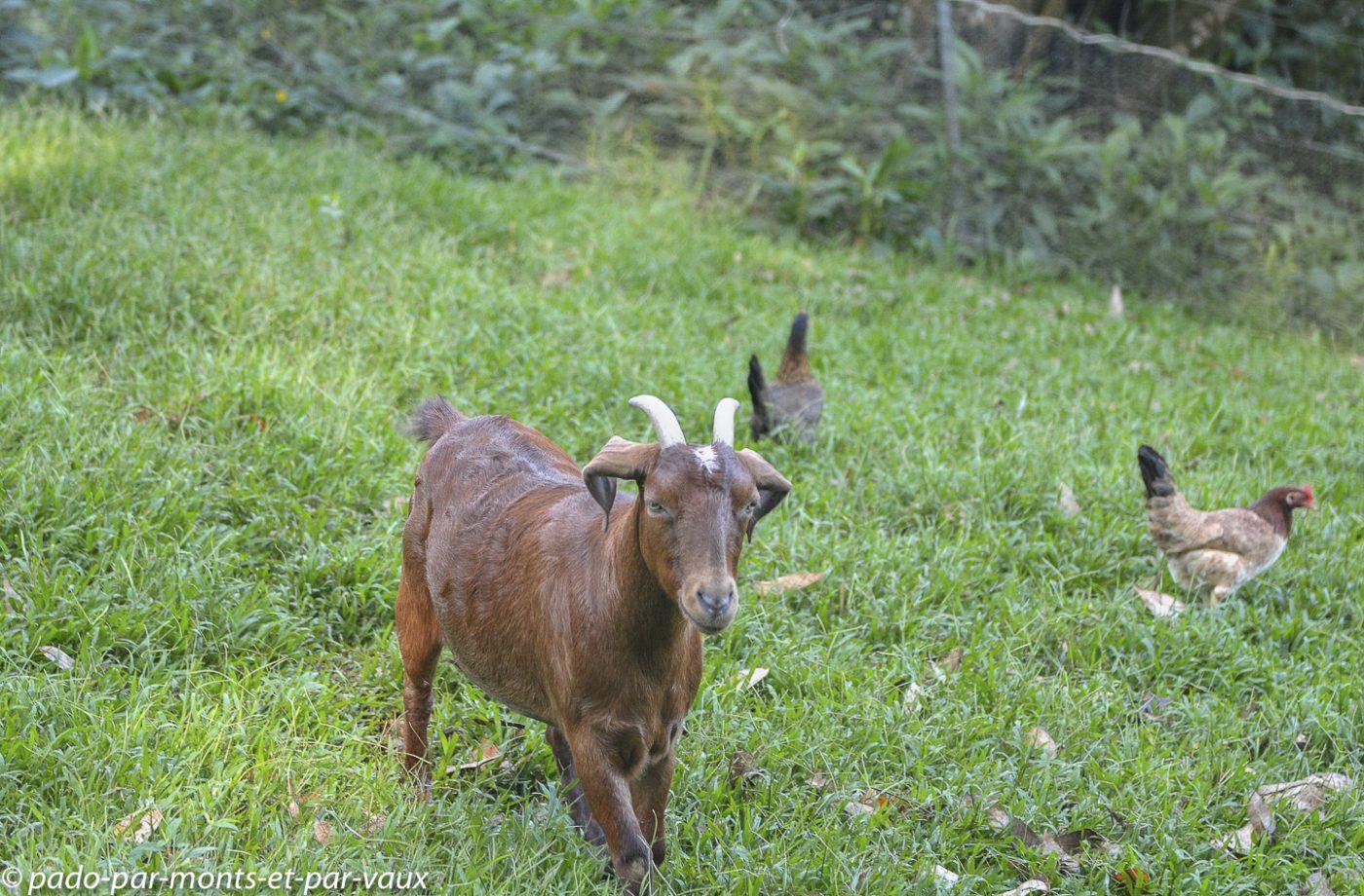 Maui - Chèvre des voisins