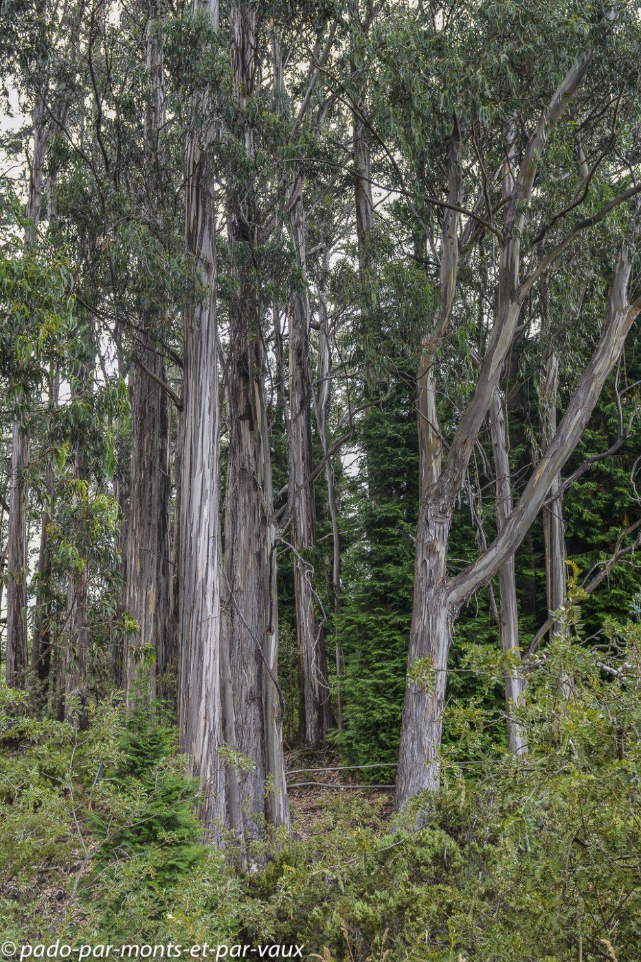 Eucalyptus obliqua