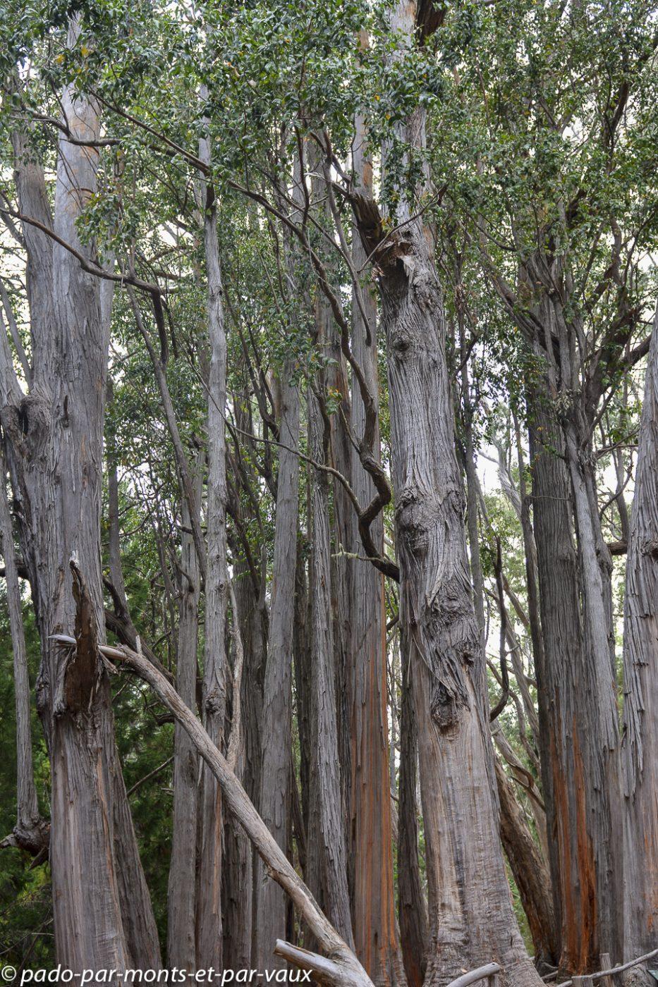 Maui  - Hosmer grove trail - Eucalyptus
