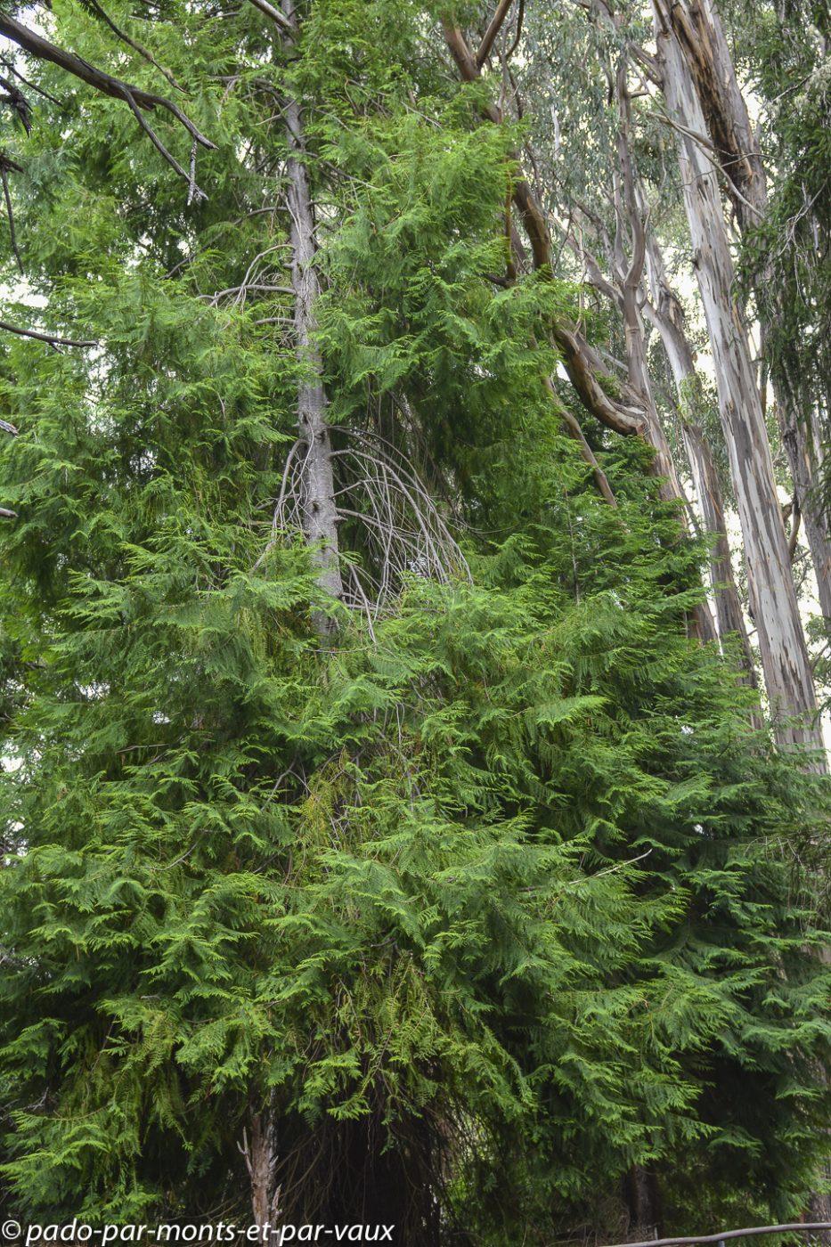Maui  - Hosmer grove trail