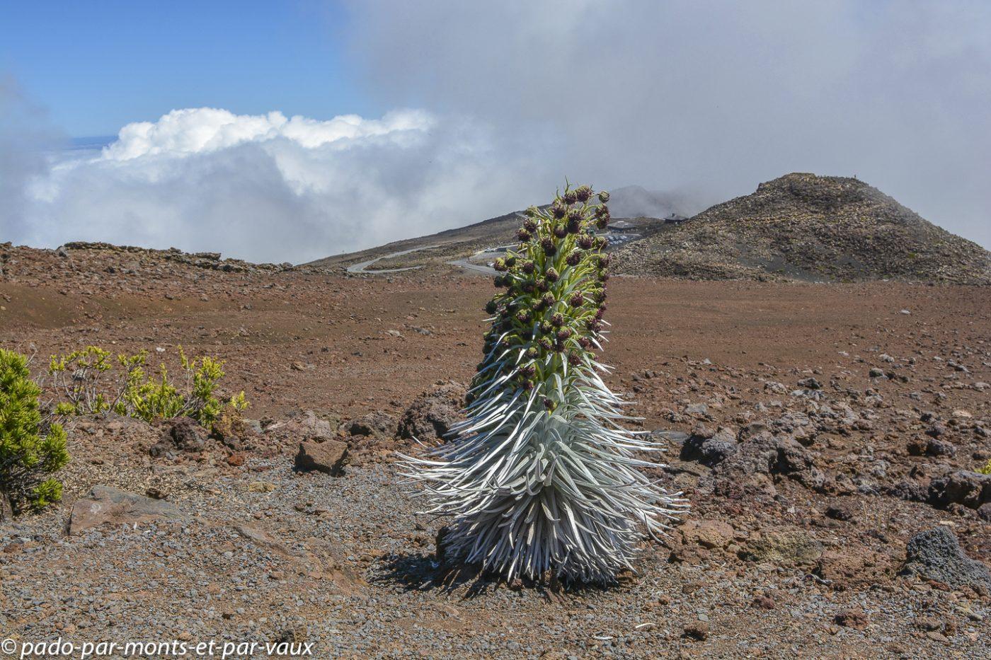 Maui  - Haleakala national park - épée d'argent