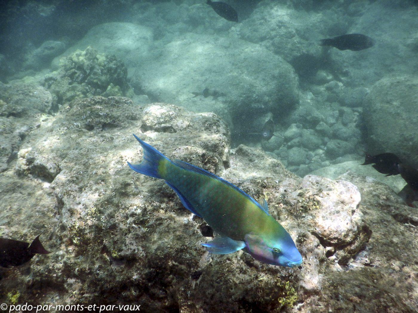 Maui -  Ahihi kina'u reserve - poisson perroquet