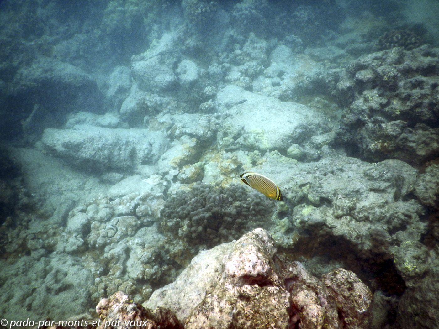 Maui -  Ahihi kina'u reserve - poisson papillon côtelé du Pacifique