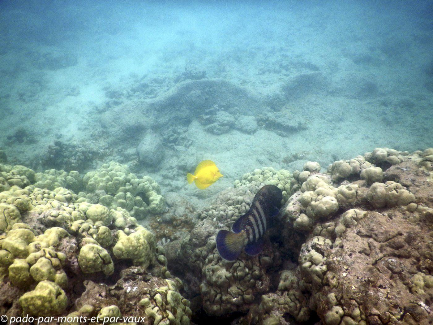 Maui -  Ahihi kina'u reserve - Mérou céleste