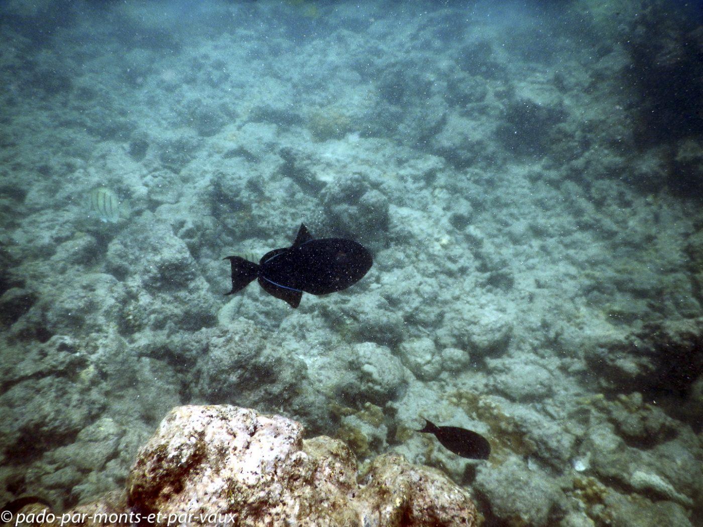 Maui -  Ahihi kina'u reserve - Baliste noir