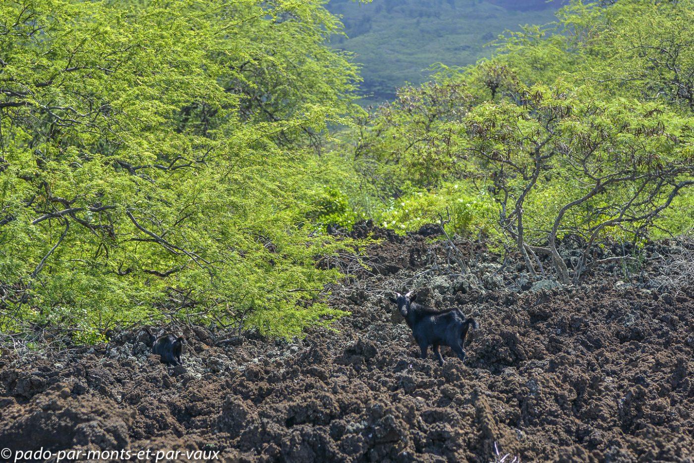 Maui -  chèvre sauvage