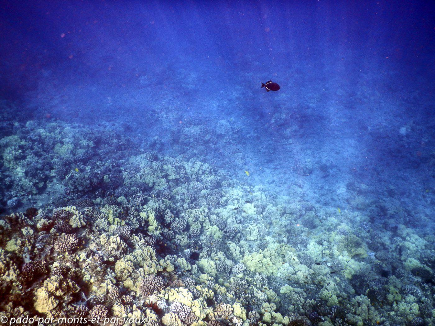 Maui -  Molokini - Baliste noir