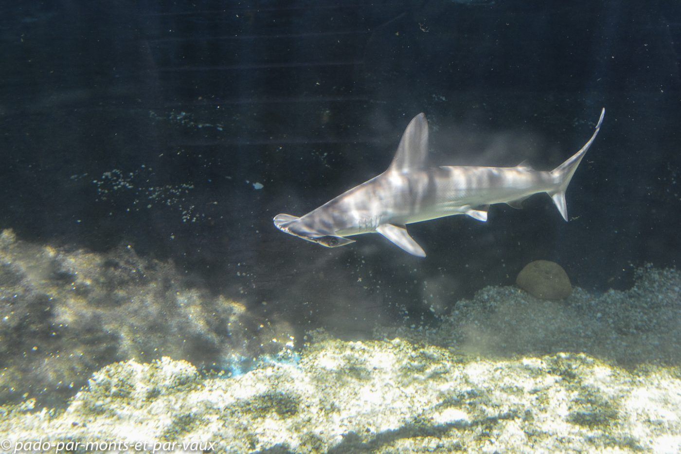 Maui -  Ocean center - requin marteau