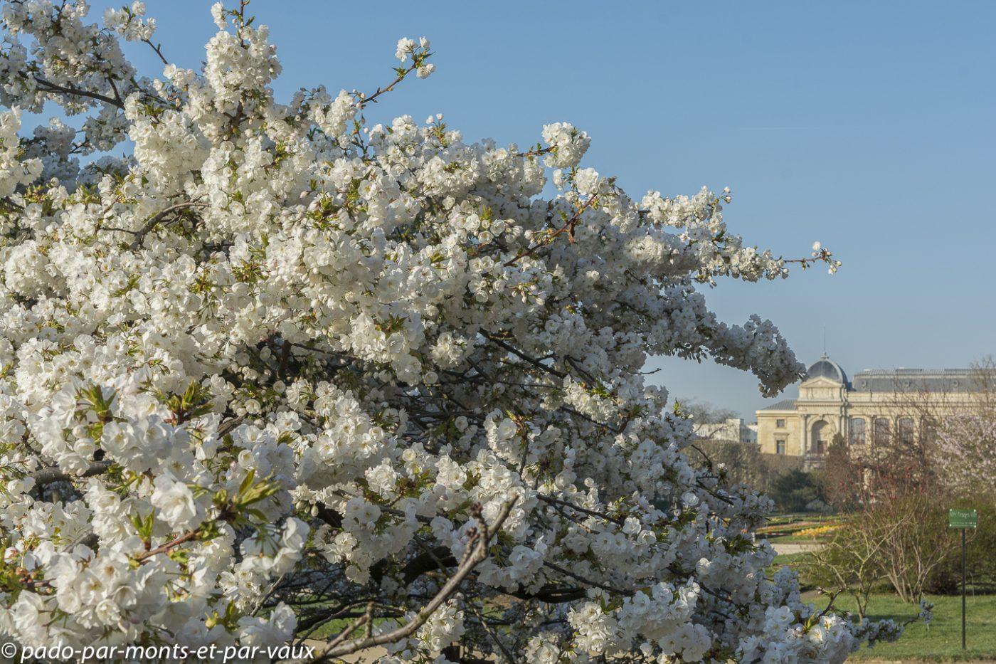 Jardin des plantes - Paris - prunus
