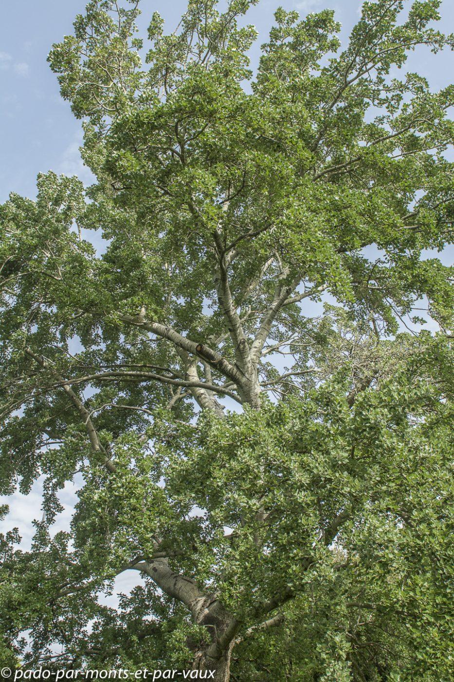 Parc Borely - Peuplier blanc de Hollande - populus alba