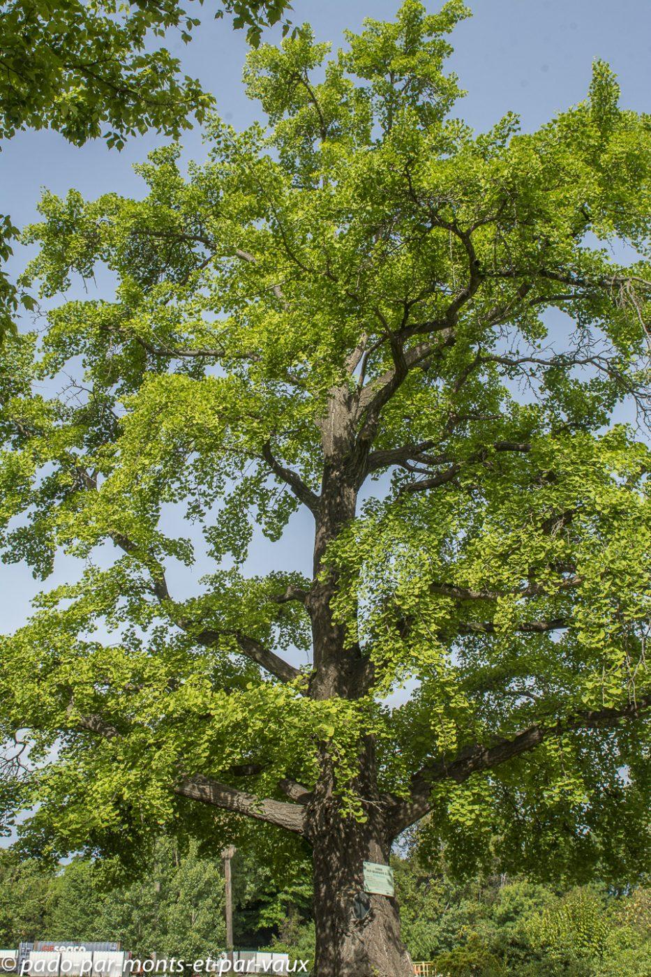 Parc Borely - Ginkgo biloba