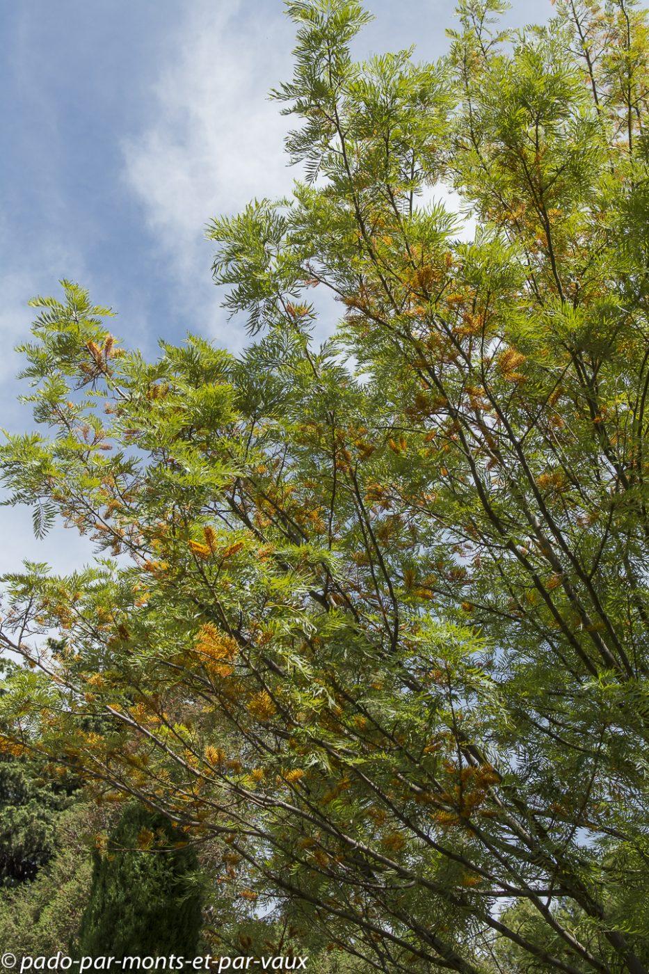 Parc Borely   Grevillea robusta