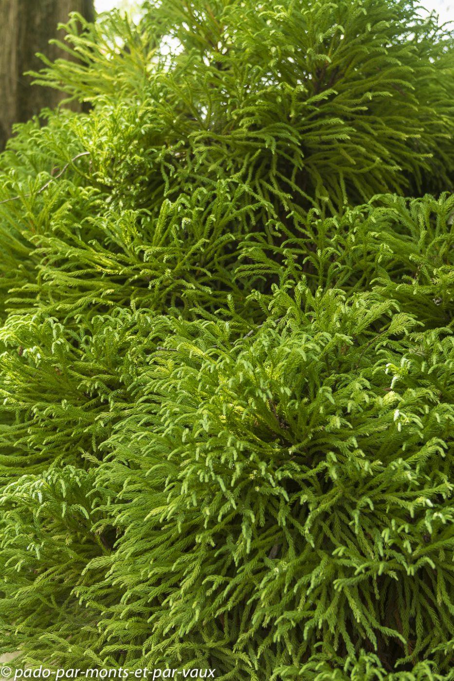 Parc Borely -  cryptomeria japonica