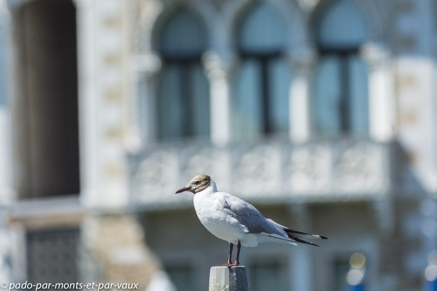 Venise - Mouette rieuse