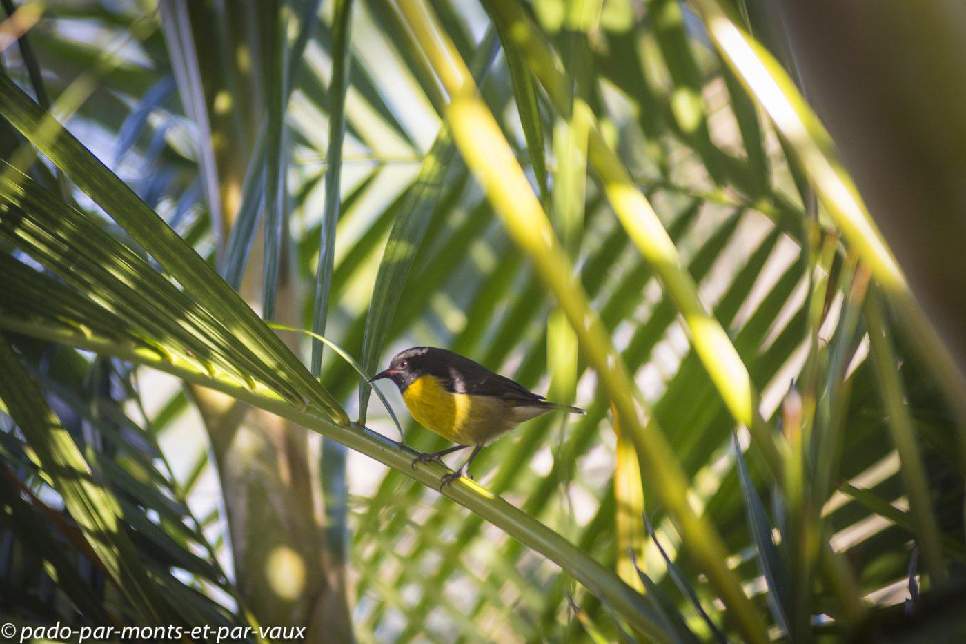 2021- Guadeloupe-Sucrier à ventre jaune