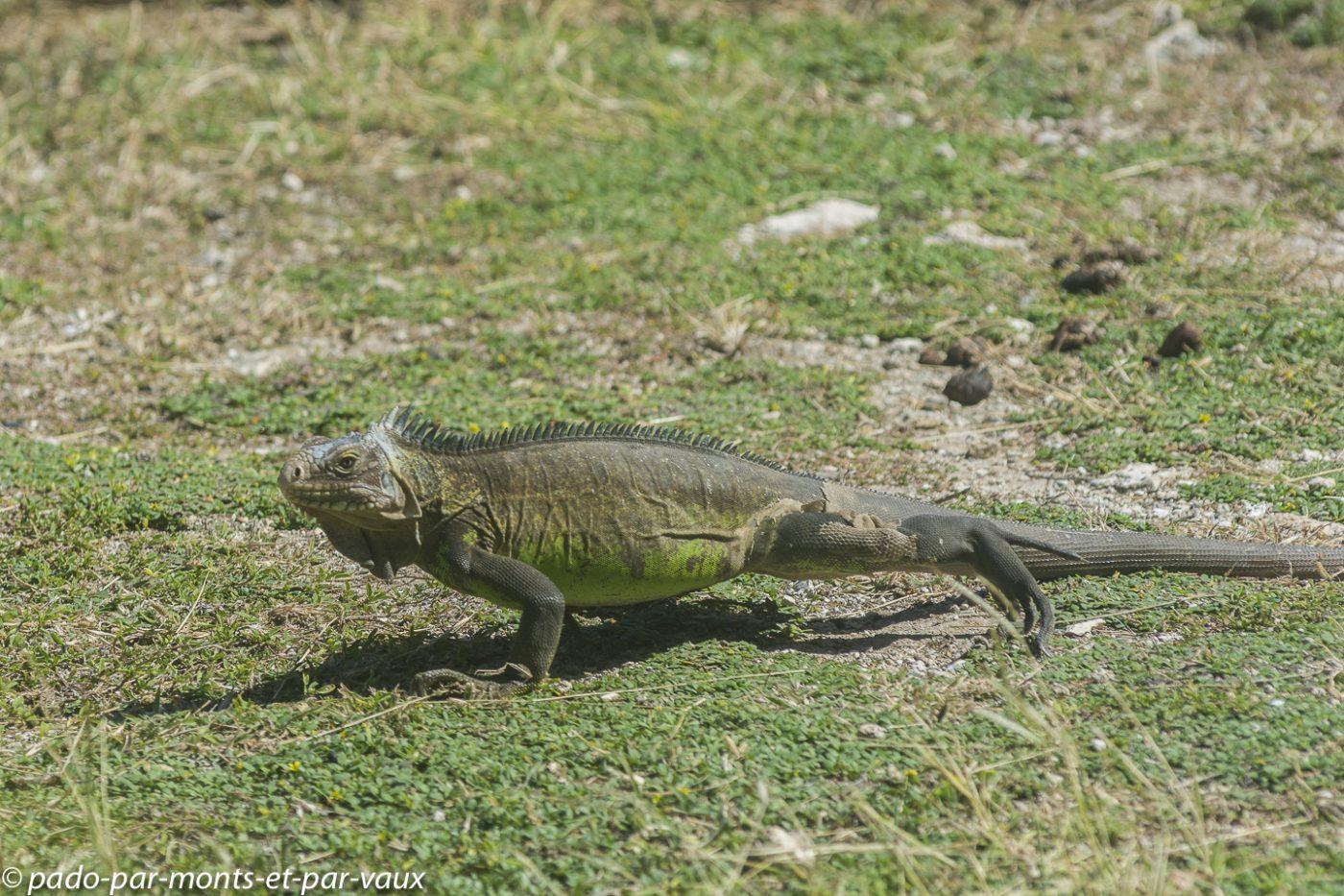 2021- Petite-Terre-Iguane antillais