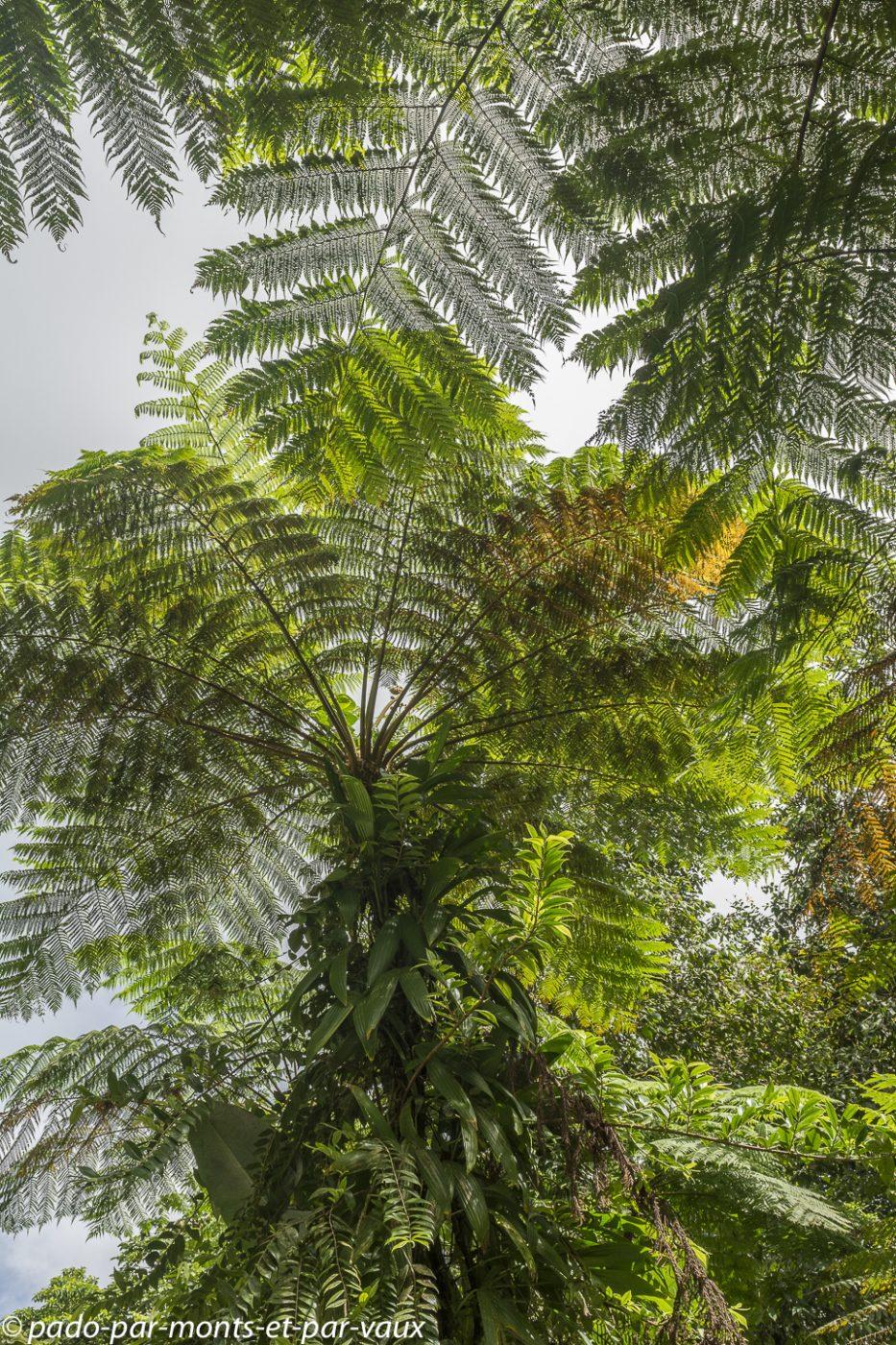 2021- Basse Terre-Fougère arborescente