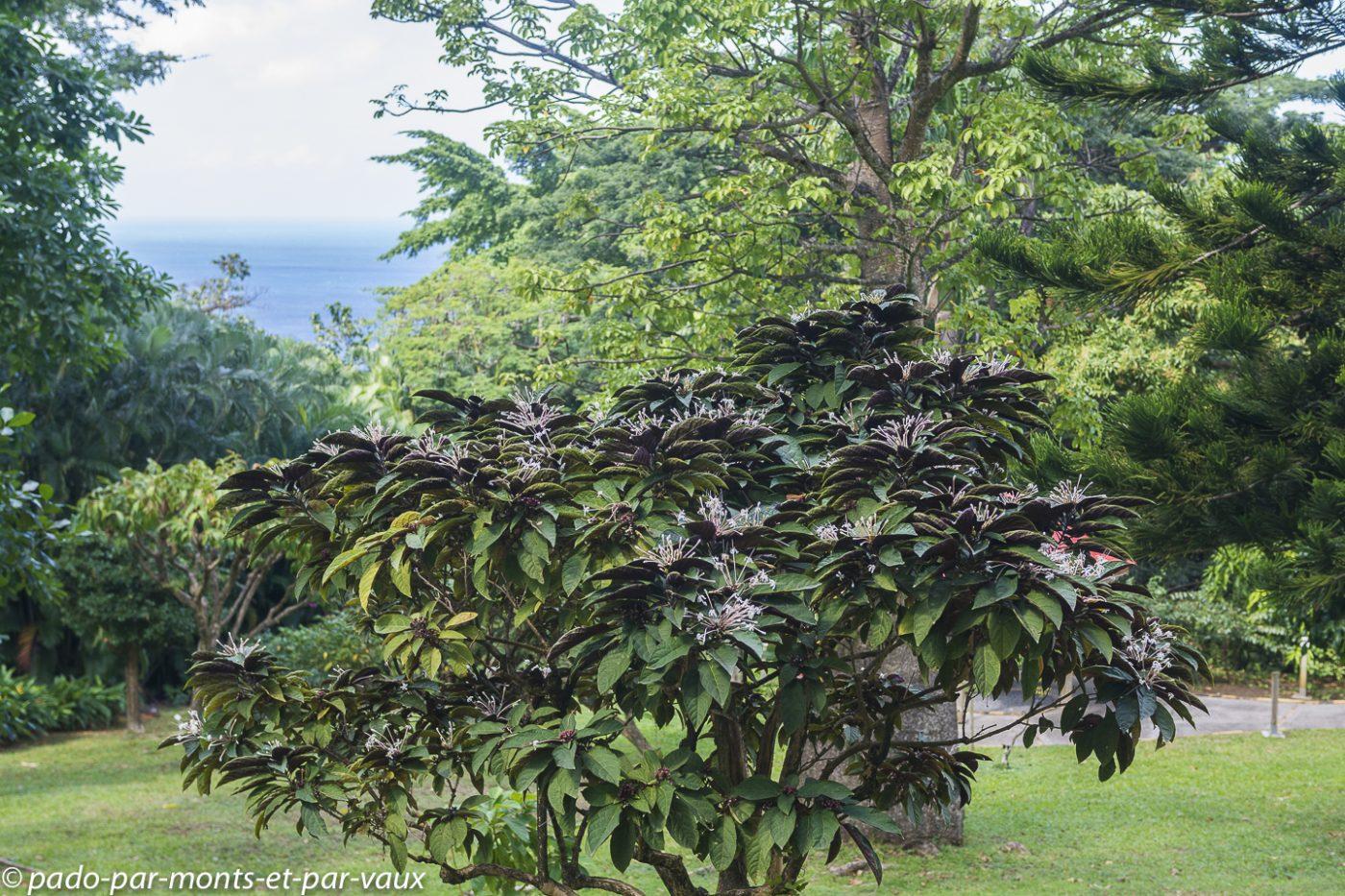 2021- Jardin Deshaie-Clerodendron